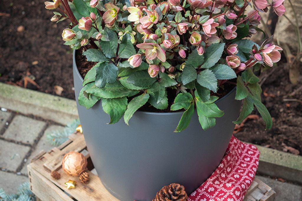 Christrose: Herbstliche Blütenpracht für Balkon und Garten