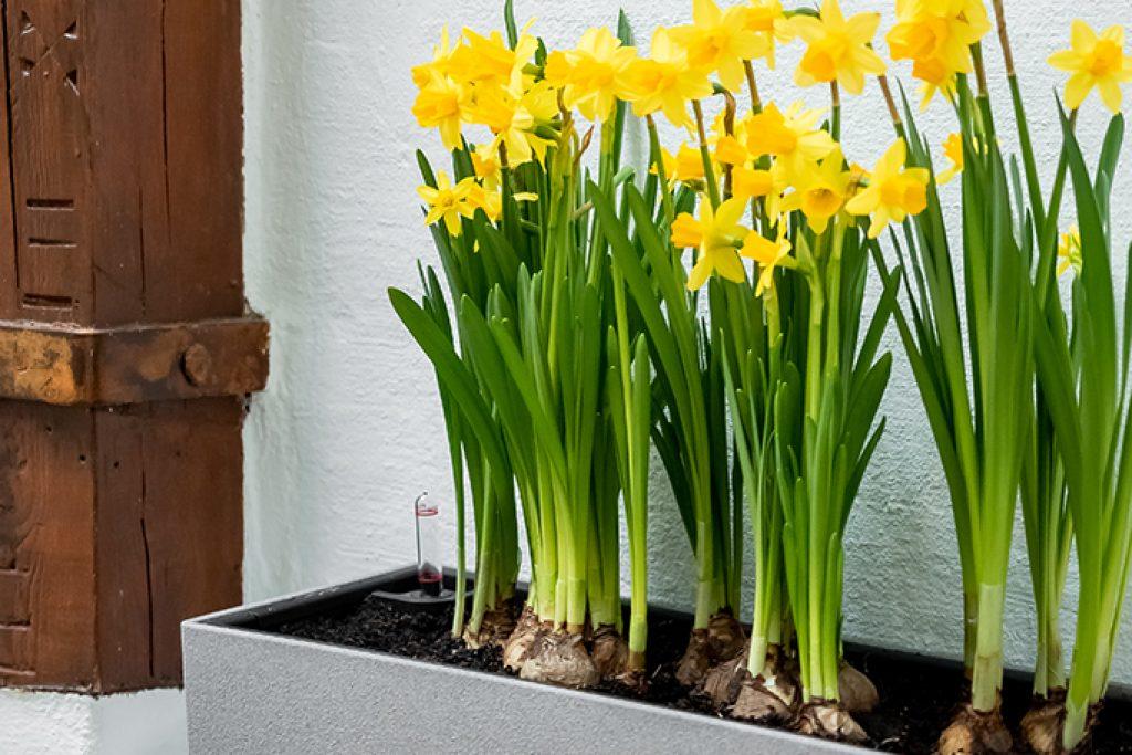 Narzisse: Mit der Osterglocke kommt der Frühling