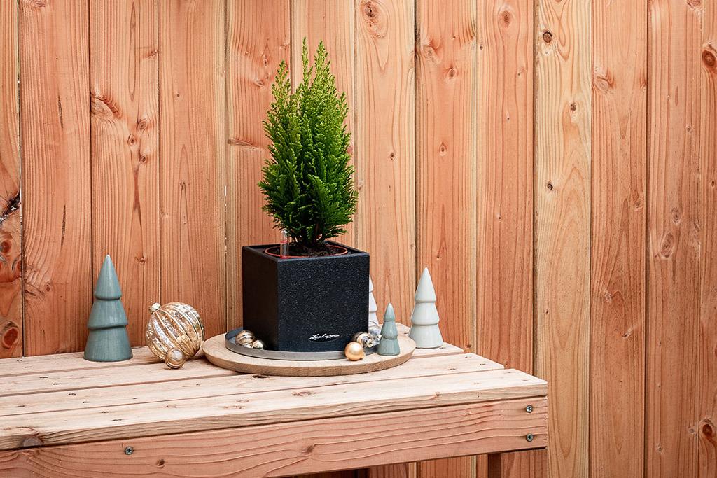 Zwergkonifere: Der kleine Vor-Weihnachtsbaum