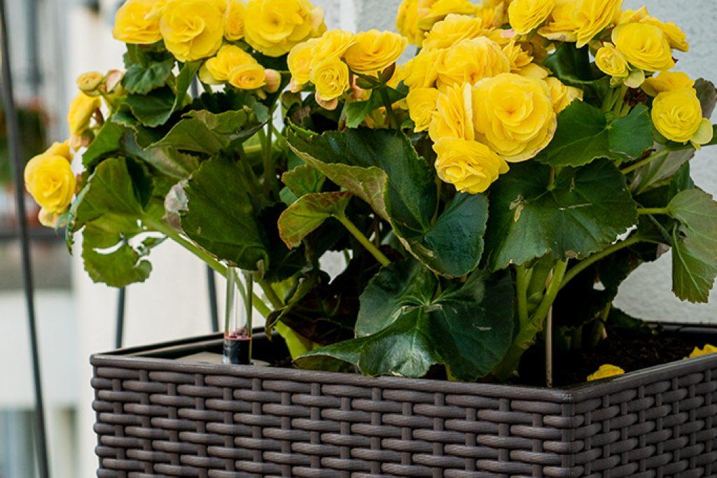 Begonie: Die bunte Blütenpracht im Spätsommer