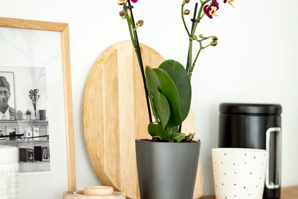 Orchidee: Tropische Blüten fürs Zimmer